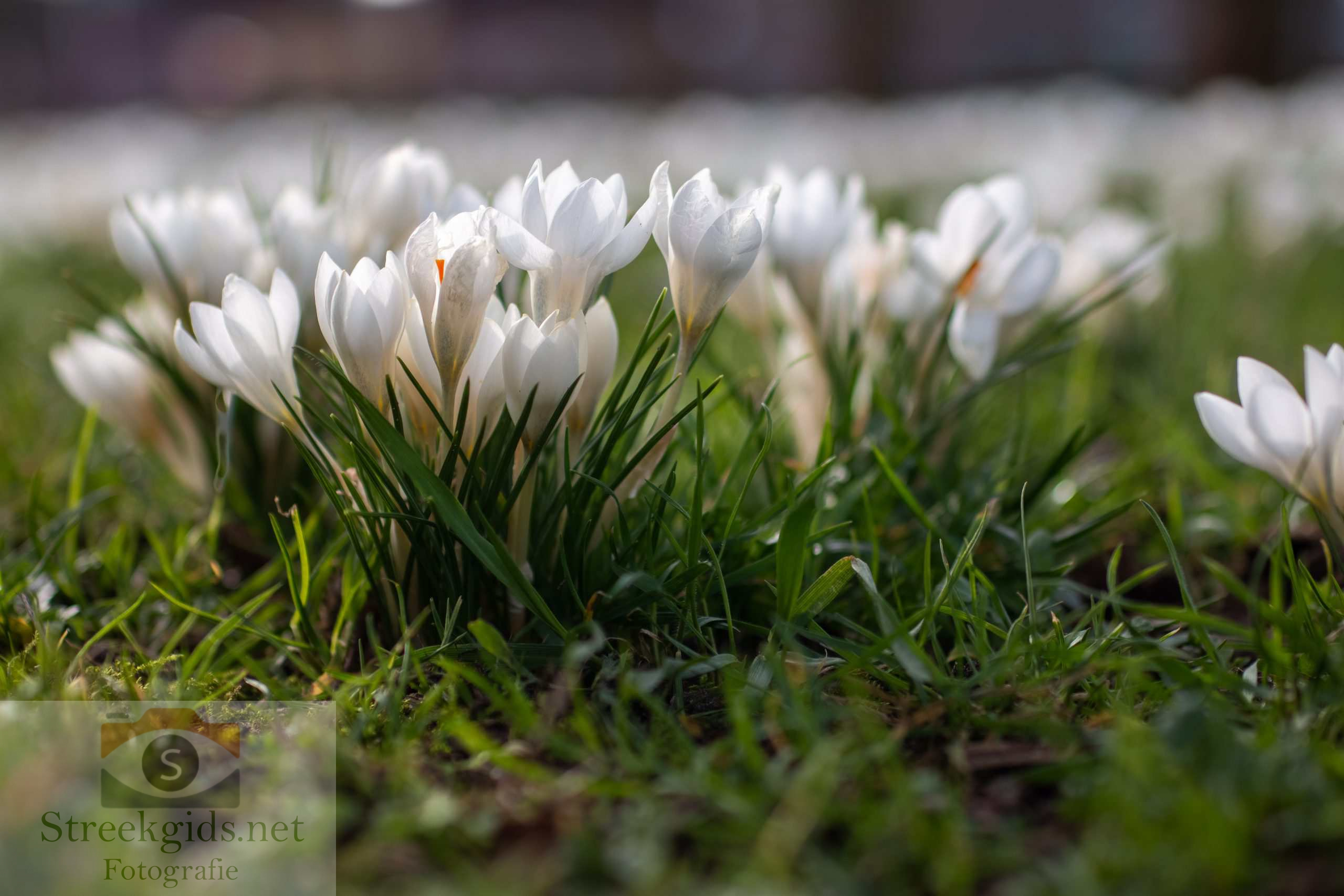 Bloemen | Crocus
